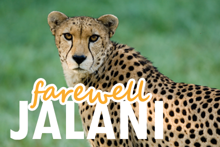 Zoo Says Goodbye to Aging Cheetah
